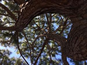 1 pine twist