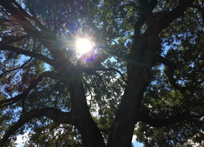 Hillsborough High School Mighty Tree with Sun Peek 2015